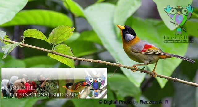 International Bird Race at Fraser's Hill - Malaysia , 23-24 May 2015