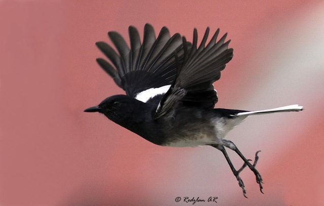 Oriental Magpie Robin Flying happily during Holiday Session