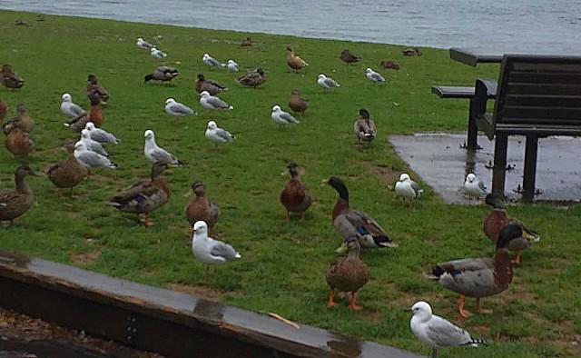 Black-billed gull, Mallard, Brown teal, at Lake Taupo