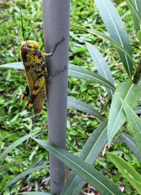 Yellow Grasshopper in my Garden