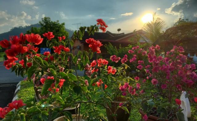 Bougainvilleas - Bunga Kertas