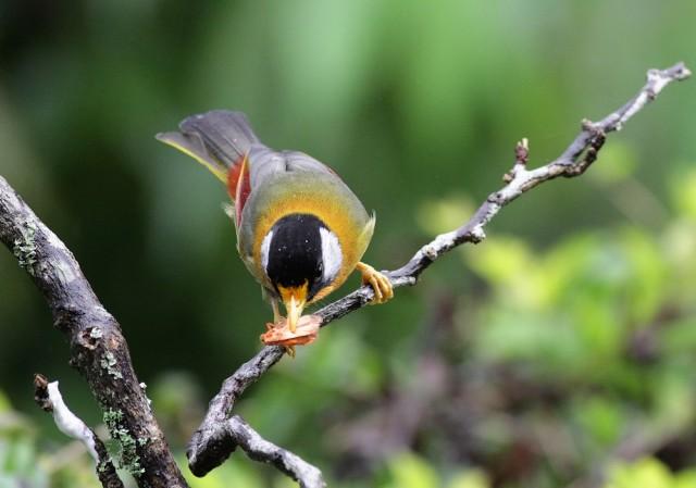 Silver-eared Mesia Feeding Moth Series