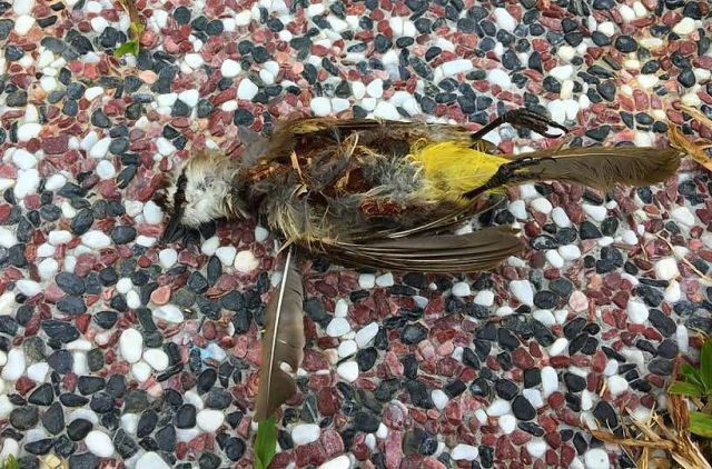 Yellow-vented Bulbul die bitten by car
