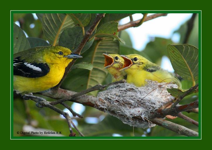 Common Iora - Nestling