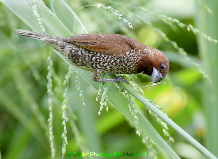 Scally-breasted Munia